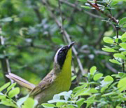 Common Yellowthroat at Harriman State Park, NY